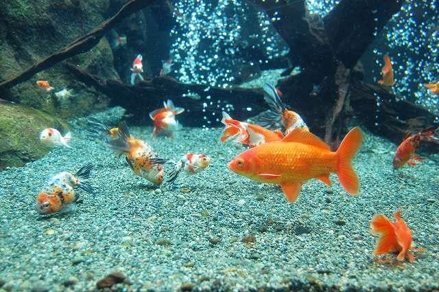 アクアリウム金魚